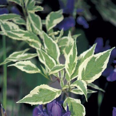 European Variegated Dogwood Garden Plant