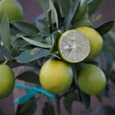 Eustis Limequat Garden Plant