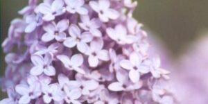 Evangeline Lilac Garden Plant