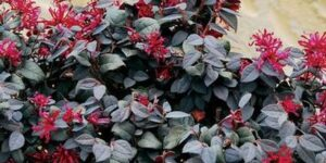 Ever Red Loropetalum Garden Plant