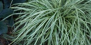 Evergold Sedge Grass Garden Plant