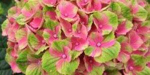 Everlasting Amethyst Hydrangea Garden Plant