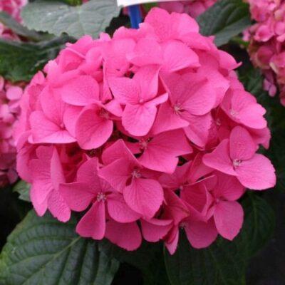 Everlasting Garnet Hydrangea Garden Plant