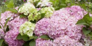 Everlasting Harmony Hydrangea Garden Plant