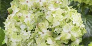 Everlasting Jade Hydrangea Garden Plant