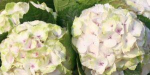 Everlasting Noblesse Hydrangea Garden Plant