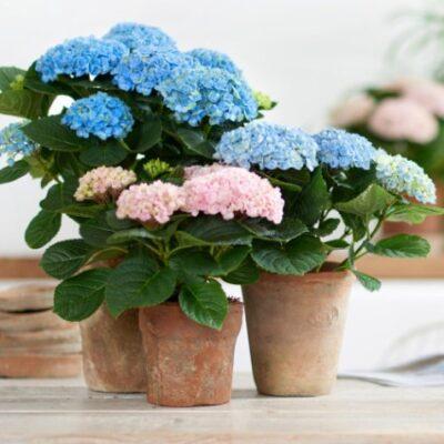 Everlasting Revolution Hydrangea Garden Plant