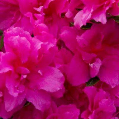 Evermore Hot Pink Azalea Garden Plant