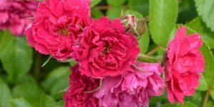 F J Grootendorst Hybrid Rugosa Rose Garden Plant