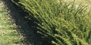 Fairview Yew Garden Plant