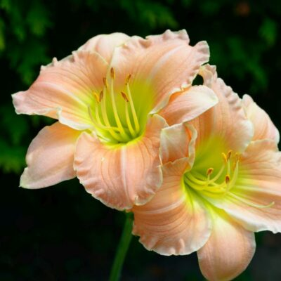 Fairy Tale Pink Daylily Garden Plant