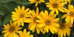 False Sunflower Tuscan Gold Garden Plant