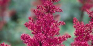 Fanal Astilbe Garden Plant