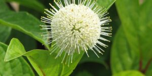 Fiber Optics Buttonbush Garden Plant