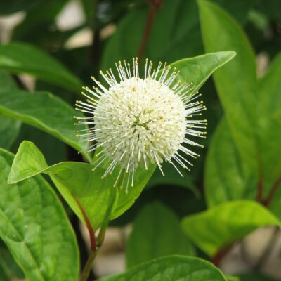 Fiber Optics Buttonbush Garden Plant