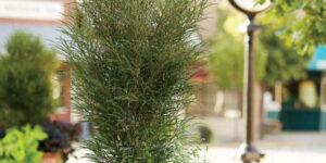 Fine Line Buckthorn Garden Plant