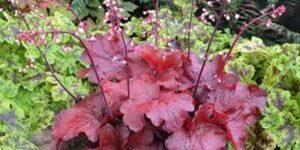 Fire Alarm Coral Bells Garden Plant