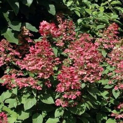 Fire and Ice Panicle Hydrangea Tree Form Garden Plant