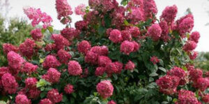 Fire Light Hydrangea Garden Plant