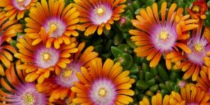 Fire Spinner Ice Plant Garden Plant