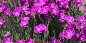 Firewitch Dianthus Garden Plant