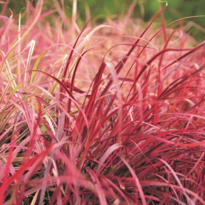 Fireworks Grass Garden Plant