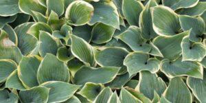 First Frost Hosta Garden Plant