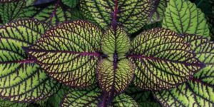 Fishnet Stocking Coleus Garden Plant