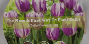 Flaming Flag Tulip Easy Bloom Pad Garden Plant