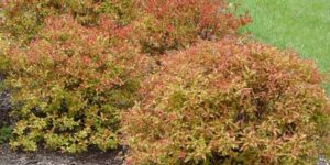 Flaming Mound Spirea Garden Plant