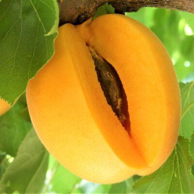 Flavor Delight Aprium Garden Plant