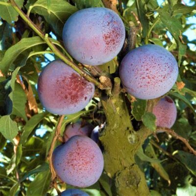 Flavor King Pluot Tree Garden Plant