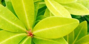 Florida Sunshine Anise Shrub Garden Plant
