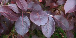 Forest Rouge Blackhaw Viburnum Garden Plant