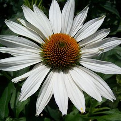 Fragrant Angel Coneflower Garden Plant