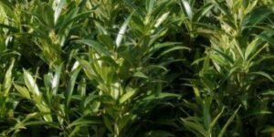 Fragrant Valley Sweet Box Garden Plant
