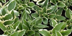 Francee Hosta Garden Plant