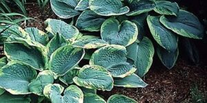 Frances Williams Hosta Garden Plant