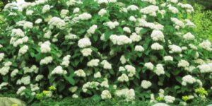 Fritsch Spirea Garden Plant