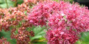 Froebelii Spirea Garden Plant