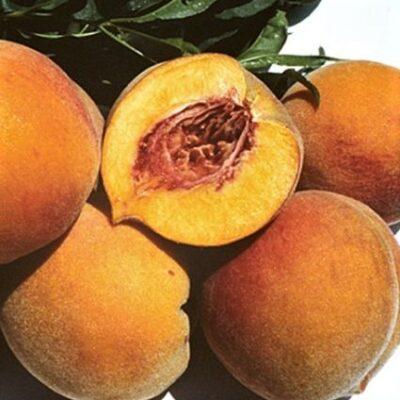 Frost Peach Garden Plant