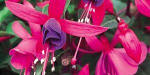 Fuchsia Marcia Garden Plant