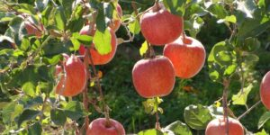 Fuji Apple Tree Garden Plant