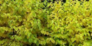 Garden Glow Dogwood Garden Plant