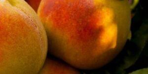 Garden Gold Peach Garden Plant