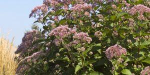 Gateway Joe-Pye Weed Garden Plant