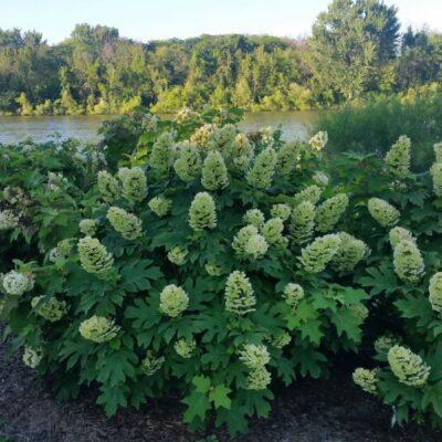 Gatsby Gal Oakleaf Hydrangea Garden Plant