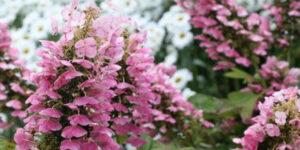 Gatsby Pink Oakleaf Hydrangea Garden Plant
