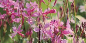 Gaura Karalee Petite Pink Garden Plant