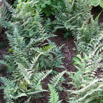 Ghost Fern Garden Plant